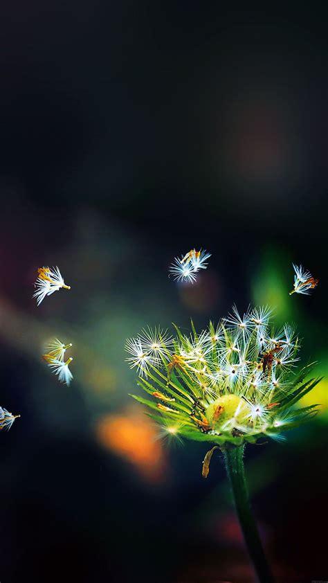 ma blow dandelion flower nature papersco