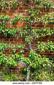 An espalier trained pear tree grown against a wall in a