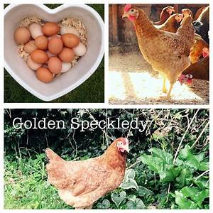 CHICKENS - Sussex Garden Poultry