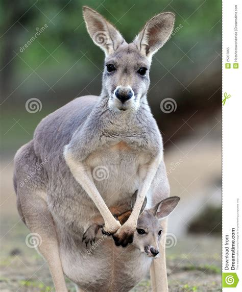 Kangaroo With Joey In Pouch