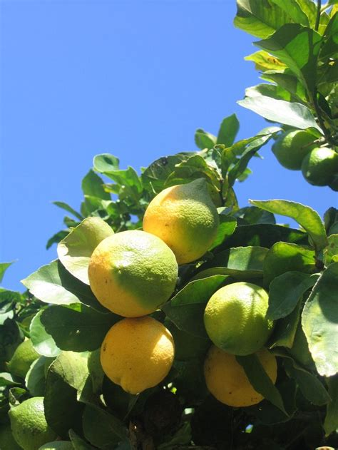 lemon tree in pot care 1000 ideas about lemon tree plants on lemon tree potted growing lemon seeds and