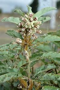 Asclepias Oenotheroides