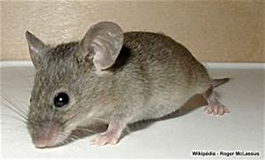 Comment Se Débarrasser Des Souris Dans Une Maison : comment pieger sa maison gallery of colle rat with comment pieger sa maison affordable pige de ~ Nature-et-papiers.com Idées de Décoration