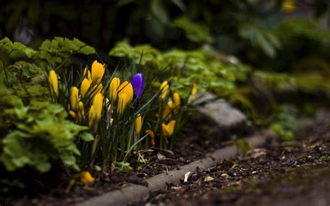 crocus wallpapers pictures images