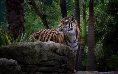 Tiger Forest Wildlife Wild Tigers Cat Animals