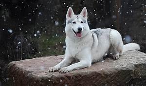 8 Wolf-Like Dog Breeds: Huskies, Wolfdogs, and More!