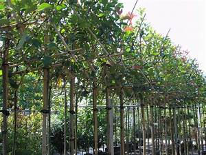 Photinia Fraseri Robusta Compacta : affordable photinia red robin with red robin snoeien with photinia red robin snoeien ~ Buech-reservation.com Haus und Dekorationen