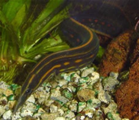 bureau de change rennes 35 anguille aquarium eau douce 28 images макрогнат