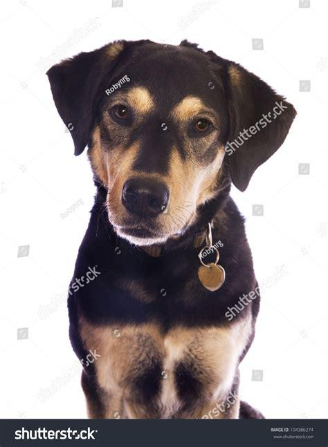 cute black  tan dog  tags  collar head shot