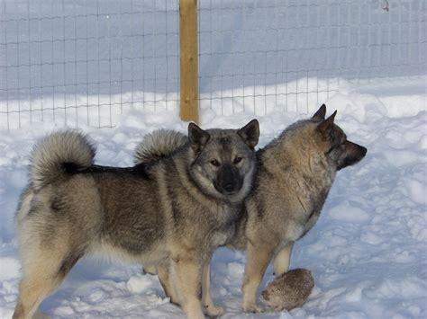 Norwegian Elkhound - Kamia Kennels