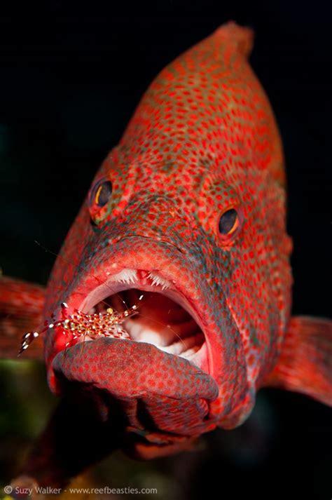 grouper fish dental visit hygienist shrimp playing saltwater salt tank water