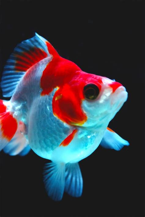 Japanese Goldfish Fish