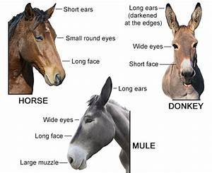 How To Differentiate Between A Donkey  Horse  And A Mule