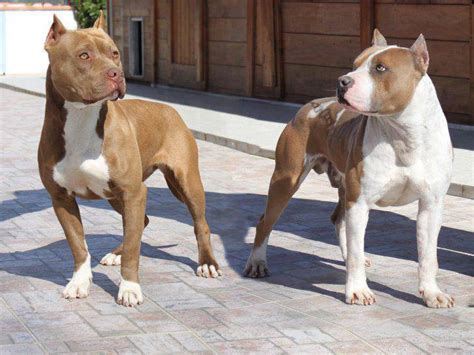 staffordshire pitbull staffordshire terrier vs pit bull similarities and differences