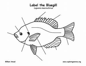 33 Labelled Diagram Of A Fish