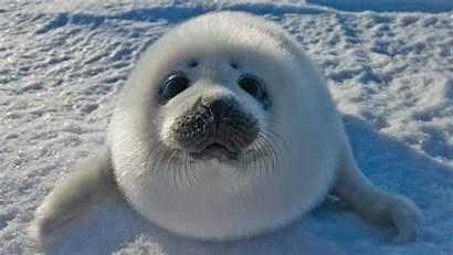 Seal Funny Wallpapers Walrus Seals Happy Oil