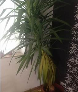 Palme Gelbe Blätter : yucca palme bekommt gelbe bl tter seite 1 yucca ~ Lizthompson.info Haus und Dekorationen