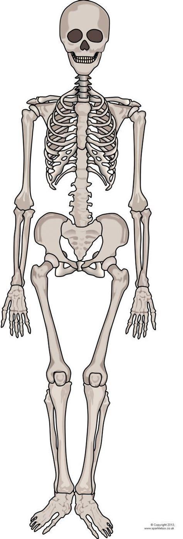 giant human skeleton picture  display sb sparklebox