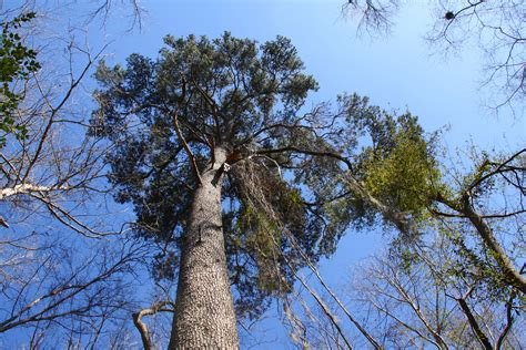 Filelarge Pinus Glabrajpg  Wikimedia Commons