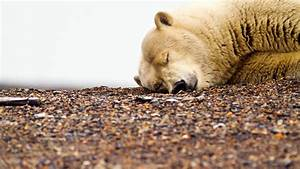 Animals sleeping bears polar wallpaper | AllWallpaper.in ...