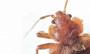how to handle bed bug infestations pioneer pest With bed bugs portland oregon