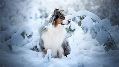 Shepherd Australian Winter Snow Dog Wallpapers Plants