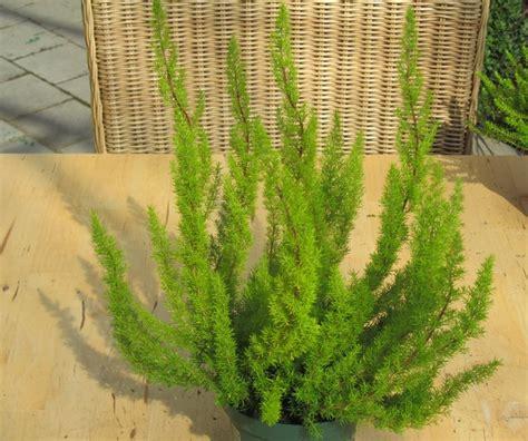 erika winterhart kaufen erica arborea alpina baumheide pflanzenversand harro s
