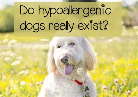 do hypoallergenic dogs still shed what are hypoallergenic dogs dogvills