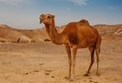 10 Interesting Camel Facts & Information for Kids