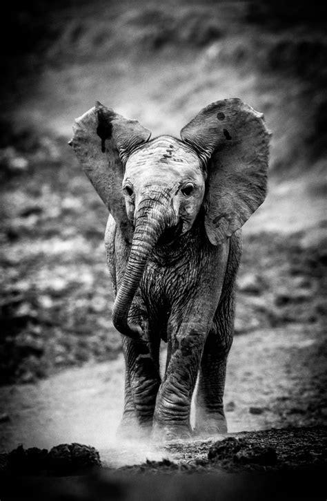 photo noir  blanc elephant achat vente  dart