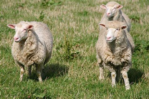 sheep manure  fertilizer  composted sheep
