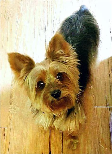 adopt rocky  yorkie yorkshire terrier dog yorkshire terrier