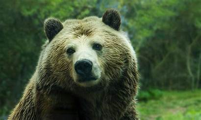 Bear Grizzly Yellowstone Near Campground Closed Close