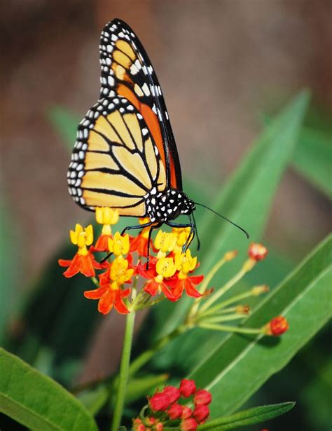 Butterfly House Missouri Botanical Garden pin by sumoflam productions on bees butterflies and other