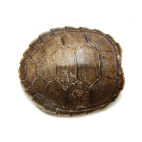 turtle shell yellow spotted river turtle shell terekayschildpad schildpad schild