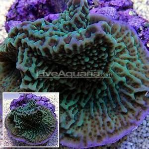 Plating Montipora Coral Indonesia Montipora undata