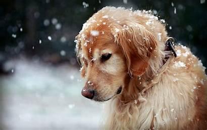 Golden Dog Snow Animals Retrievers Wallpapers Winter