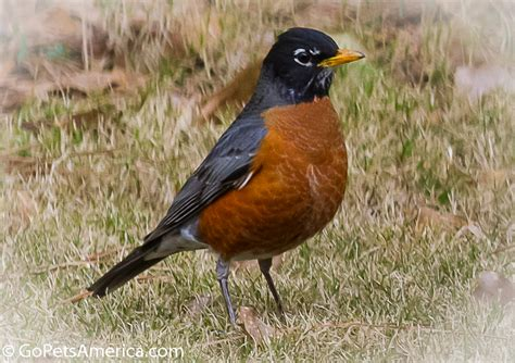 american robin pictures