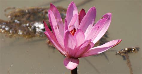 The Lotus Flower, A Metaphor for Life | iFlow Yoga