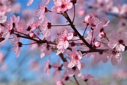 Spring Flowers Season Sakura Tree Laptop Wallpapers