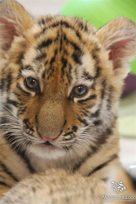 tiger cubs zoo minnesota exhibit cute baby tigers help amur face mn female cub zooborns there profile still them animals
