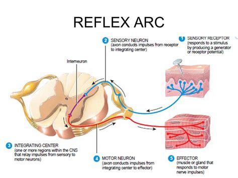 Diagram A Reflex Arc by Reflex Arc T