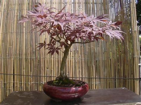 bonsa 239 cr 233 ation fiche d entretien du erable du japon acer japonicum
