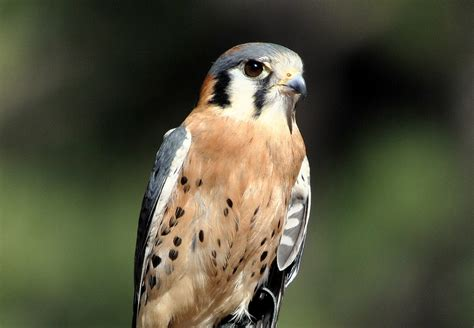 beautiful bird of prey a photo from arizona west trekearth