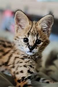 Serval kitten | Animals | Pinterest