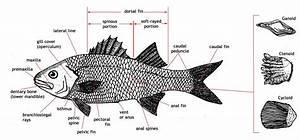 Adw  Large Fish Diagram Jpg