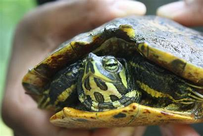 Turtles Water Types Aquatic Turtle Semi Amazing