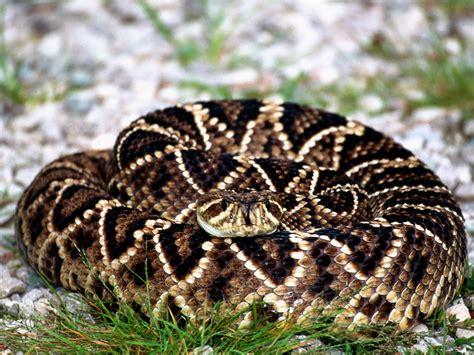 Diamondback Rattlesnake   Phillip's Natural World