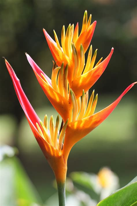 Colombian Tropical Flowers