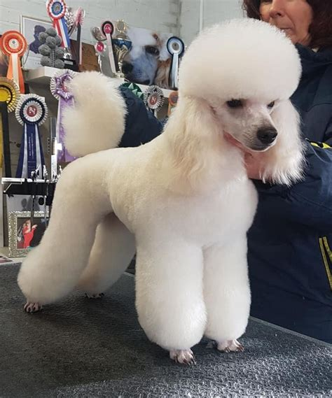 poodle grooming hairstyles images  pinterest
